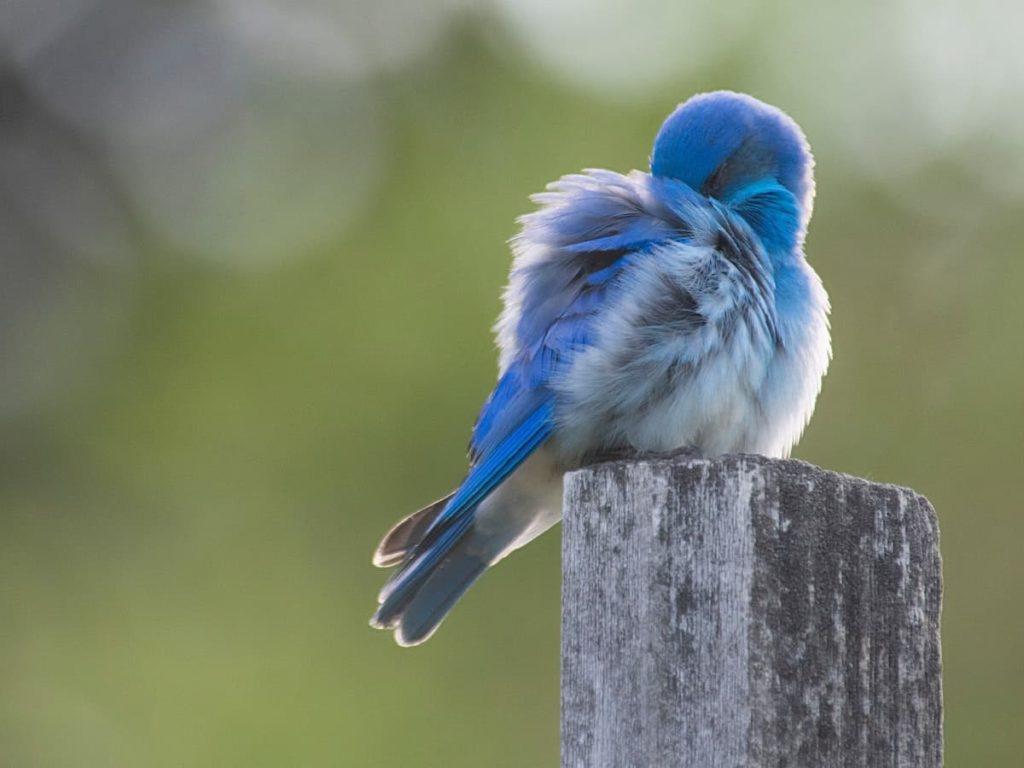 毛繕する青い鳥