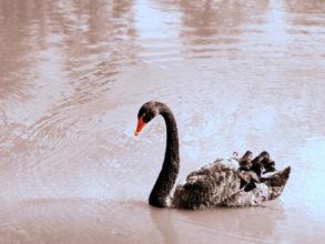 黒鳥,#ブラックサファイア