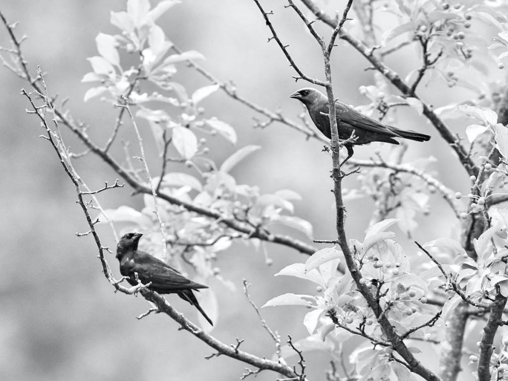 白黒写真,小鳥二羽