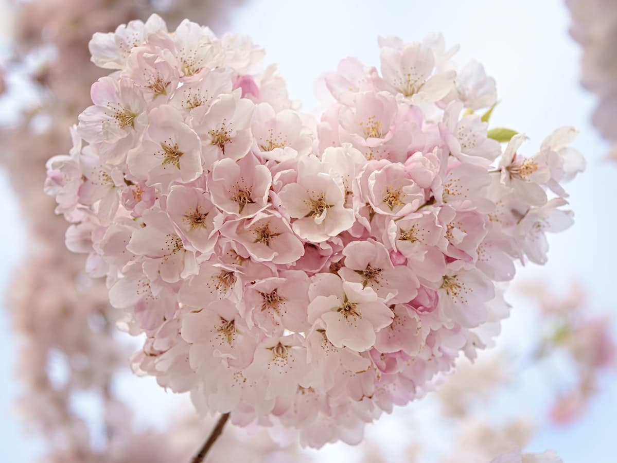 桜のハート
